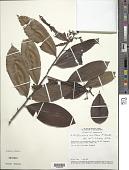 view Roucheria laxiflora H. Winkl. digital asset number 1