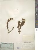 view Eriostemon pleurandroides F. Muell. digital asset number 1