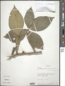 view Citropsis articulata (Willd. ex Spreng.) Swingle & M. Kellerm. digital asset number 1