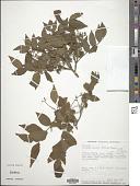 view Clausena anisata (Willd.) Benth. digital asset number 1