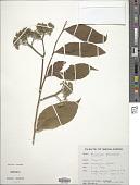 view Micromelum pubescens Britton digital asset number 1