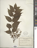 view Ailanthus altissima (Mill.) Swingle digital asset number 1