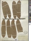 view Turraeanthus zenkeri digital asset number 1