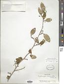 view Erythroxylum havanense Jacq. digital asset number 1