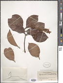 view Byrsonima crassifolia (L.) Kunth digital asset number 1