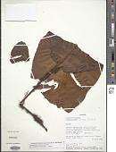 view Elaphoglossum crinitum (L.) Christ digital asset number 1