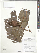 view Elaphoglossum trichophorum (Sodiro) C. Chr. digital asset number 1