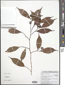 view Carpolobia gossweileri (Exell) E.M.A. Petit digital asset number 1