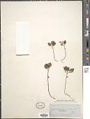 view Polygala paucifolia digital asset number 1
