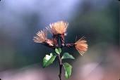 view Vernonanthura buxifolia (Less.) H. Rob. digital asset number 1