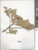 view Anacardium parvifolium Ducke digital asset number 1