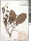 view Trichoscypha patens (Oliv.) Engl. digital asset number 1