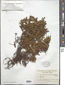 view Empetrum nigrum subsp. hermaphroditum (Hagerup) Böcher digital asset number 1