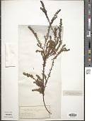 view Empetrum nigrum L. digital asset number 1