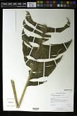 view Heliconia talamancana G.S. Daniels & F.G. Stiles digital asset number 1