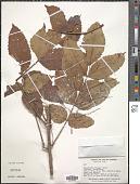 view Loxopterygium huasango digital asset number 1
