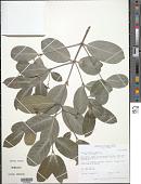 view Cassine orientalis (Jacq.) Kuntze digital asset number 1