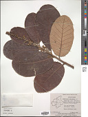 view Semecarpus anacardium digital asset number 1