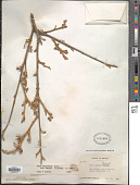 view Rhus trilobata var. pilosissima Nutt. digital asset number 1