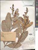 view Semecarpus vitiensis digital asset number 1