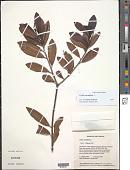 view Cyrilla racemiflora L. digital asset number 1