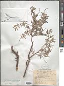 view Schinopsis quebracho-colorado F.A. Barkley & T. Mey. digital asset number 1