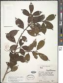 view Ilex lamprophylla Standl. digital asset number 1