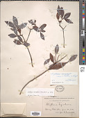 view Cliftonia monophylla Britton digital asset number 1