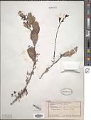 view Gymnosporia senegalensis (Lam.) Loes. digital asset number 1