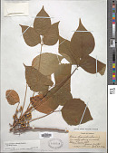 view Toxicodendron radicans subsp. rydbergii (Small & Rydb.) Á. Löve & D. Löve digital asset number 1