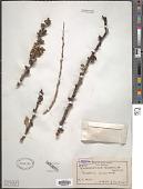 view Gymnosporia buxifolia (L.) Szyszyl. digital asset number 1