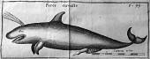view Pseudorca crassidens (Owen, 1846) digital asset number 1