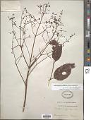 view Dalrympelea ovalifolia digital asset number 1