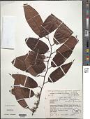 view Emmotum fagifolium Desv. ex Ham. digital asset number 1