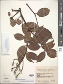 view Turpinia occidentalis (Sw.) G. Don digital asset number 1
