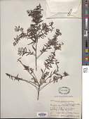 view Phylica paniculata Willd. digital asset number 1