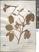 view Frangula betulifolia (Greene) Grubov digital asset number 1