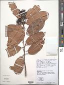 view Tontelea ovalifolia (Miers) A.C. Sm. digital asset number 1