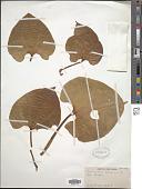 view Cardiopteris moluccana Blume digital asset number 1