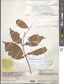 view Tontelea laxiflora (Benth.) A.C. Sm. digital asset number 1