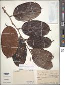 view Poraqueiba guianensis Aubl. digital asset number 1