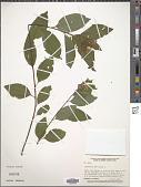 view Ceanothus americanus L. digital asset number 1