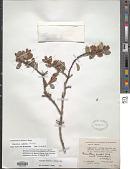 view Ceanothus australis Rose digital asset number 1