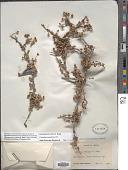view Ceanothus pauciflorus DC. digital asset number 1