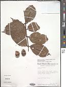 view Salacia erecta (G. Don) Walp. digital asset number 1