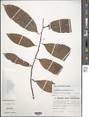 view Discophora guianensis Miers digital asset number 1