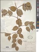 view Colubrina asiatica (L.) Rich. digital asset number 1