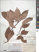 view Acer laurinum subsp. decandrum (Merr.) A.E. Murray digital asset number 1