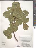 view Ziziphus thyrsiflora Benth. digital asset number 1
