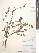 view Melochia parvifolia Kunth digital asset number 1